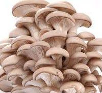 champignon pleurote